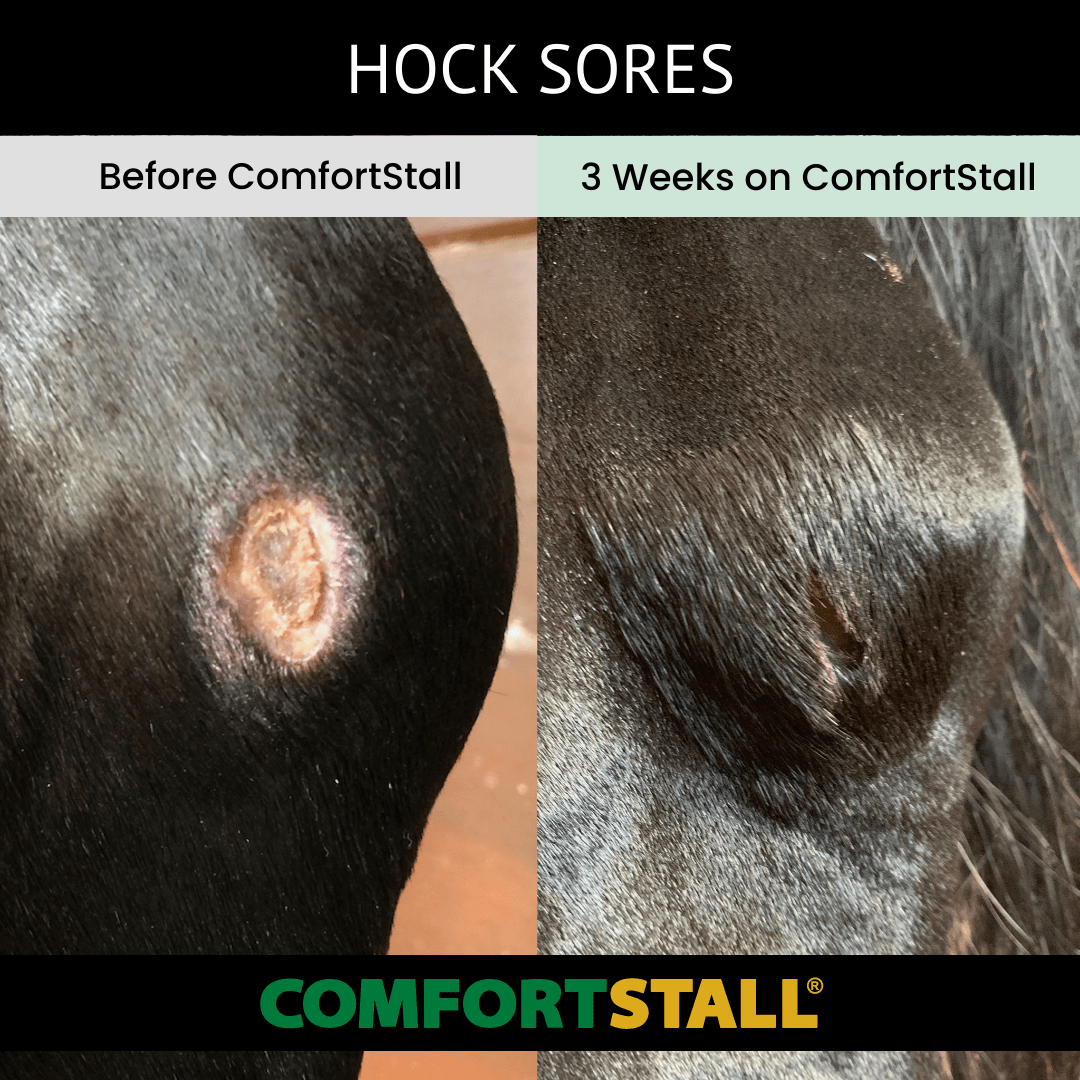 Hock Sores before and after