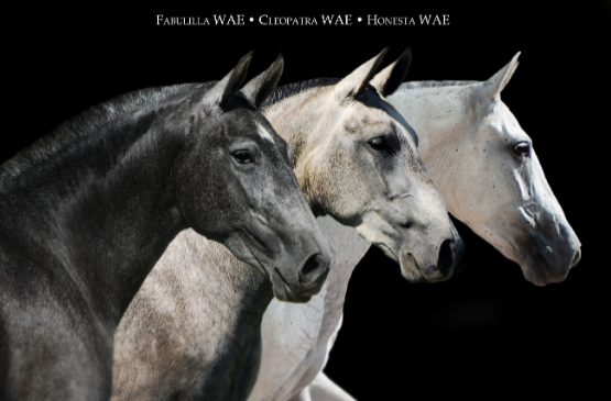"Three select Revised mares with many ""Best Movement"" awards, all sired by Fugitivo XII from Terry Waechter's breeding program (L-R) Fabulilla WAE, Cleopatra WAE, and Honesta KR."