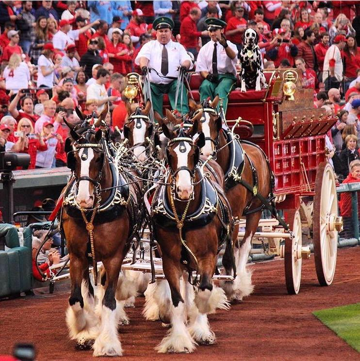 Budweiser Clydesdales return to Live Oak