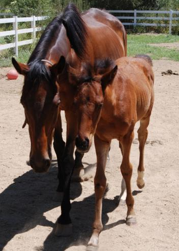 Shariya, a German bred thoroughbred mare who was supposed to be euthanized while in foal suffering a severe case of Laminitis. After being on YourSano Nutrition, at Whispering Meadows Rescue Ranch she survived and thrived, and her foal was named after the product!