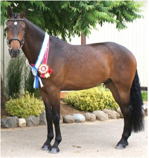 Con Brio HF (Conteur – Weltmeyer's Song) 2013 AHS Champion, Two & Three Year Old Colts/Gelding (Photo: Mary Houghton)