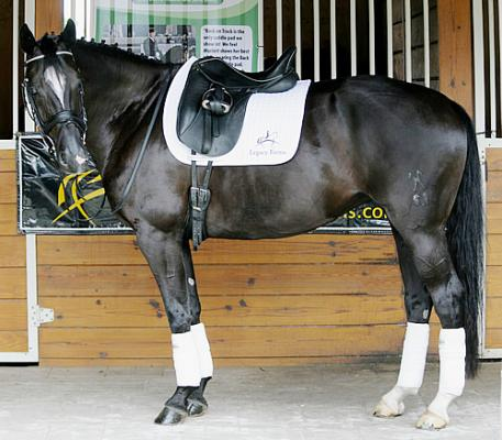 Shantiana - 2006 Hanoverian Black Mare (Sir Savoy x Weltmeyer)  - owned by Noel Anderson of Middleburg VA and shown by Melissa Taylor - wears the Back On Track Saddle Pad with the Legacy Farm Logo  Photo:Betsy LaBelle