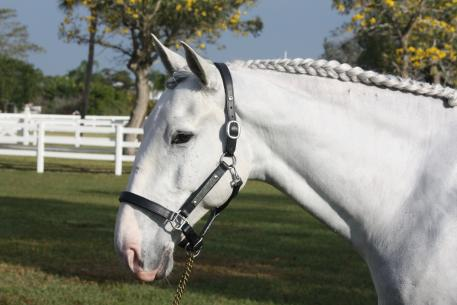 Balder sporting his prize, a beautifully engraved halter from Interagro Lusitanos
