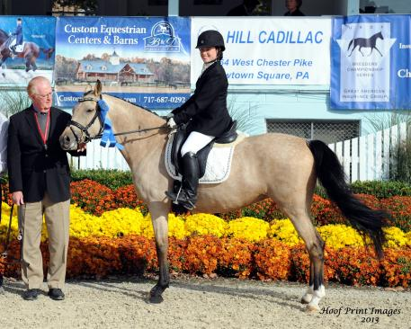 Cinderella, a 14-hand buckskin German Riding Pony (Champion de Luxe x Golden Rock)