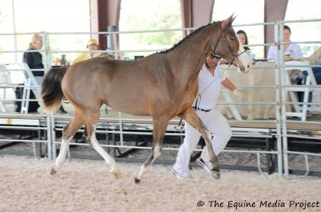 Spycoast Farm Young Horse Series Pandora (Balta 'Czar/Prinz Gaylord), bred and owned by Winhall, LLC finished in reserve with a score of 7.86