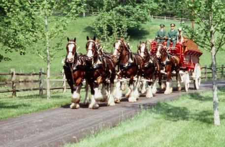 Superbowl commercial stars and heralds of American equestrian tradition, the Budweiser Clydesdales will be performing at the 2014 Live Oak International. (Photo courtesy of Budweiser)