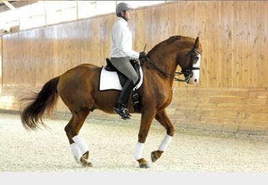 Dave Thind riding the licensed stallion White Star (Weltmeyer x Grande) Photo: CAHill Photo