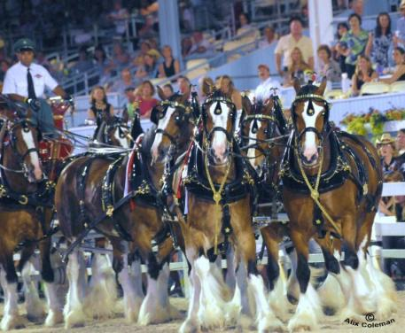 The Budweiser Clydesdales are coming!