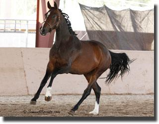 Pik L's Donabella is a lovely representation of the quality athletes that popular sire Pik L produces. They are known both for their rideability as well as their quality gaits. (Photo: Susan J Stickle)