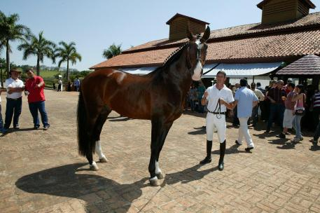 nteragro Lusitanos was filled with the sounds of bidding and sights of stunning Lusitano horses at their annual Interagro Collection National Auction, which took place on August 25, 2012 in Itapira, Brazil.  Photo:  Murilo Constantino