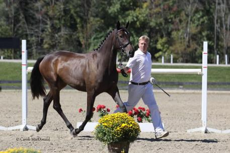 Dakesa, by Dacaprio out of SPS Pakesa, crowned the 2013 Champion for Fillies in the USDF New England Breeder's Series Championship at the New England Dressage Association's Fall Festival. Photo: Carole MacDonald