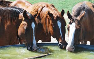 The most important single factor in preventing heat stress is providing plenty of clean, fresh water and trace mineralized salt to all horses. Journal photo.