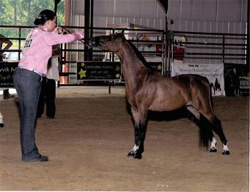 A Youth Competitor at the ASPC Congress enjoys showing off her Classic Shetland Pony (Photo ASPC archives)