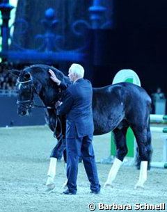A dignitary appeared at the stallion show: 27-year old Trakehner sire Kostolany (by Enrico Caruso)