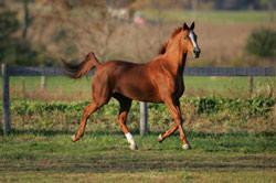 Fleur Rouge, a Trakehner mare, has shown iridescence in her coat color. Since being on the Horse Sense, she been able to focus on her work and has put on a tremendous amount of muscle in all of the right places.