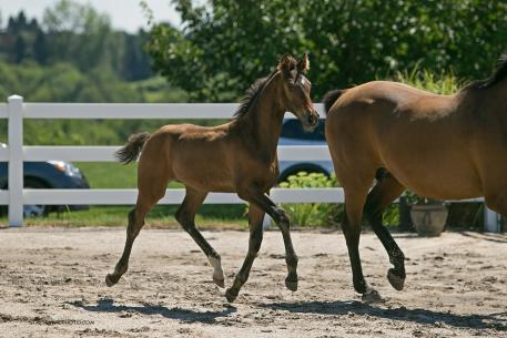Sheneca - a 2013 colt by Sir James (Sir Donnerhall/Feiner Stern) out of Elite Mare Dhewpoint (DiCaprio/Monty) - Premium Foal and Foal of Distinction ribbon by the Oldenburg Horse Breeders Society (Photo: Stacy Lynne)
