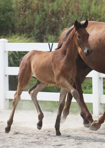 "Schooter RSF (Shakespeare RSF) Foal of distinction, and for Mo Swanson ""One of the best foals I have ever produced!"""