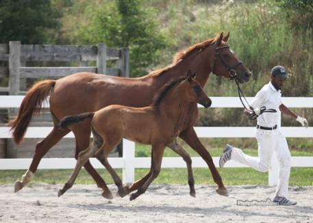 Mare and foal are both in synch and airborn as Shtratego (Shakespeare RSF) earns his Foal of Distinction and Stallion Prospect from the Oldenburg GOV