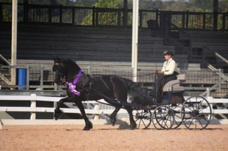 """Suzy Stafford, a National and World Champion Combined Driver, driving """"Sjaantje"""" to the highest driven IBOP score in North America in 2013. Photo credit: Jessica Mendoza- Mendoza Dressage"""
