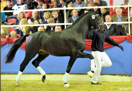 Tolegro (Totilas x Krack C x Ferro) stands at Böckmann Horses in Germany