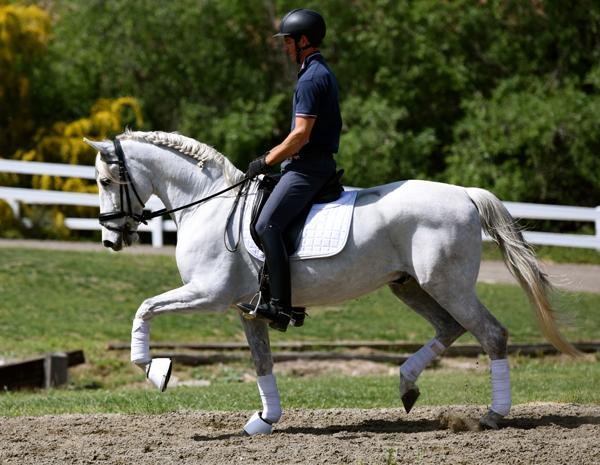 Absolute Amore - 2003 Andalusian PRE Gelding ($30,000 and Under)