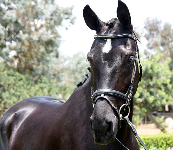 Beauty - 2011 Oldenburg Mare ($30,000 and Under)