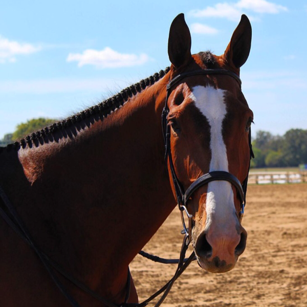 Charleston - 2008 Dutch Warmblood Gelding - ($30,000 - $50,000)