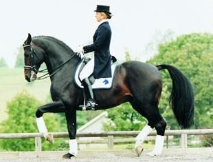 Contango Preferent - 1988 KWPN Stallion