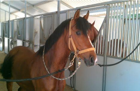 Cooper - 2005 Weser-Ems - German Riding Pony Gelding ($30,000 and Under)