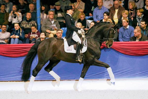 Lot # : 25 - Daily Deal - 2008 16.2 1/2 h. Dark Brown Westfalen Stallion (Diamond Hit x Lauries- Florestan I)