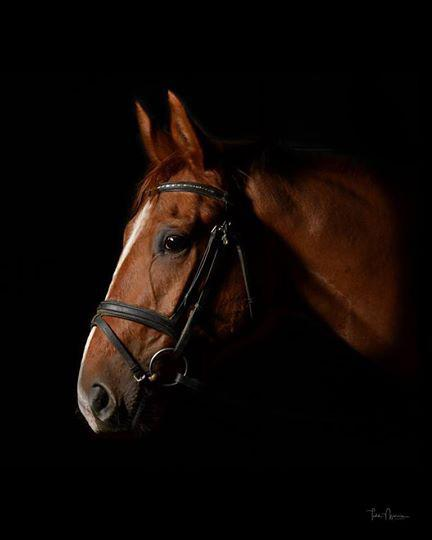 Don Carletto - 2013 Hanoverian Gelding ($30,000 and Under)