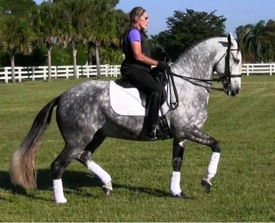 Eragon VO - 2009 Andalusian (and Lusitano) Gelding ($100,000 and Up)<br />