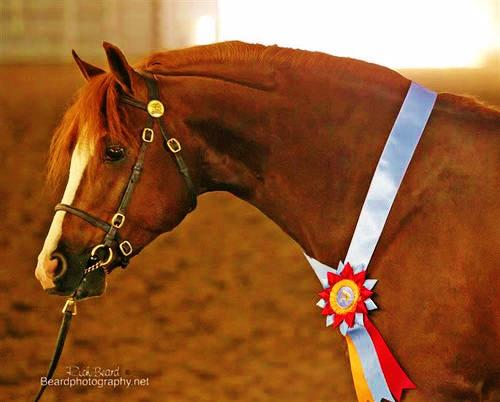 Lot # : 70 - Evans Providence of the Night - 2001 Chestnut Welsh B Stallion (Land's End Royal Fox x Evans Brams Stoker x Bristol)