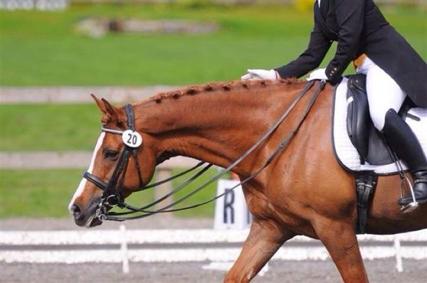 Fantasque - 2001 Belgium Warmblood Cross Gelding ($50,000 - $75,000)