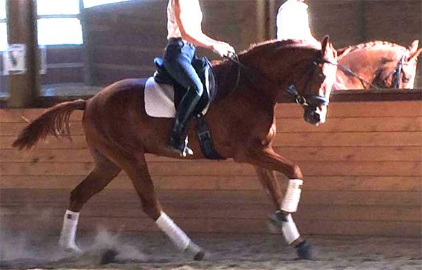 Fox - 2013 Canadian Warmblood Gelding ($30,000 - $50,000)