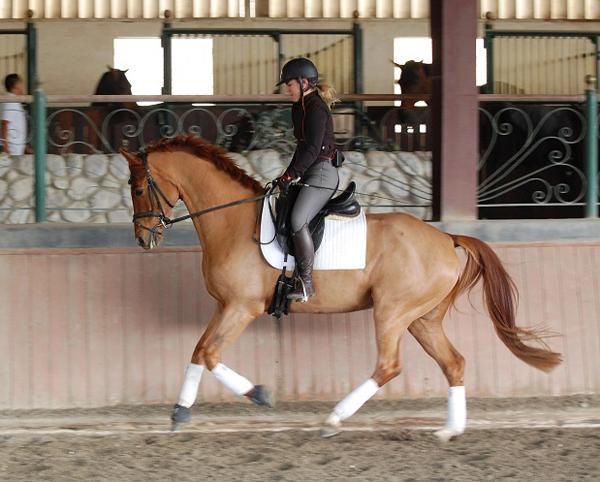 Gino - 2011 Dutch Warmblood Gelding - ($50,000 -$75,000)