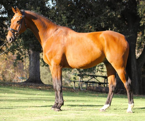 Guilando - 2006 Belgian Warmblood Gelding ($100,000 and Up)