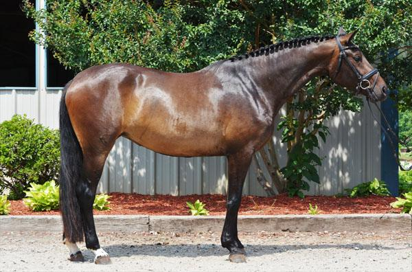 Heirabella - 2013 American Hanoverian Mare ($30,000 and Under)