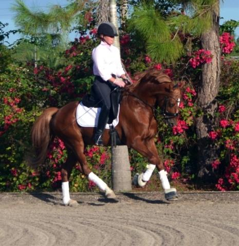 Lot # : 65 - Hilkens Go For Gold - 2004 Chestnut Imported German Riding Pony (FS Golden Highlight x Kimber - Ben Hur)