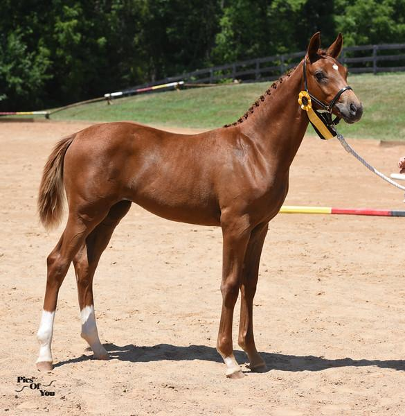 "Furst Impression-Dabria Foal<br />Photo: <a href=""http://picsofyou.com"" target=""_blank"">picsofyou.com</a>"