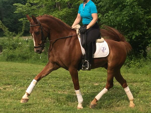 Jupiter's Dream - 2004 Oldenburg Welsh Cross Gelding ($30,000 and Under)