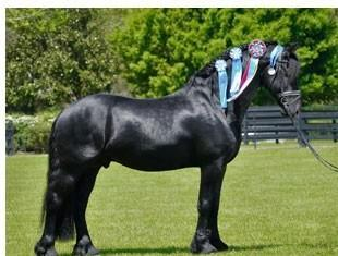 Meinse 439 - KFPS Friesian Stallion