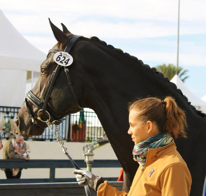 Naima Moreira-Laliberté and her new stallion, Sancerre, preparing for the FEI jog at the Adequan Global Dressage Festival.  This exciting new pair, who achieved promising results throughout the 2016 Florida season -- including the Intermediare 1 Freestyle win at the final AGDF of 2016, with a 72.9% -- is already enjoying great success thanks to coaching by FEI trainer and coach Janine Little, who scouted the new mount for Moreira-Laliberté in Europe just before the start of the season.  (Photo credit: Joanna Cockerline)