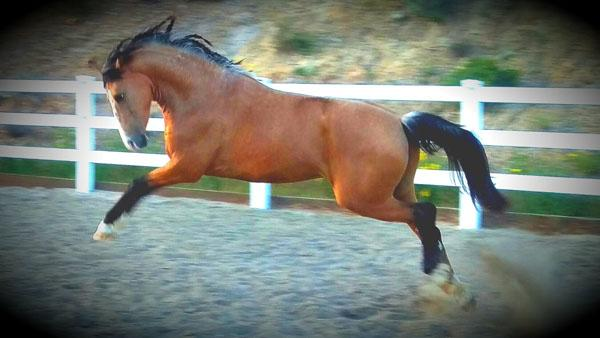 Pacquiao - 2014 Andalusian Gelding ($30,000 and Under)
