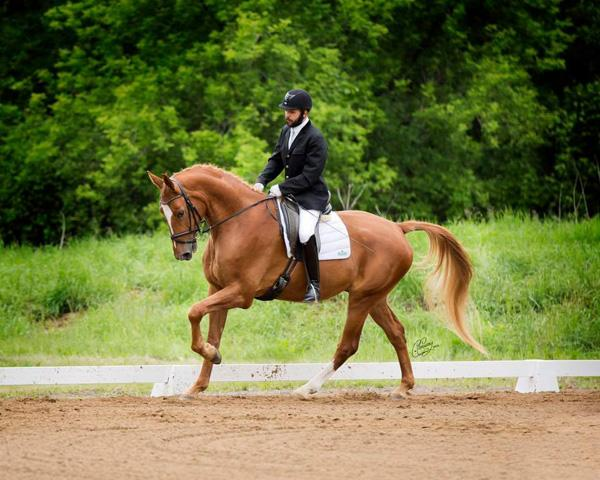 Percival - 2011 Canadian Warmblood Gelding ($30,000 - $50,000)
