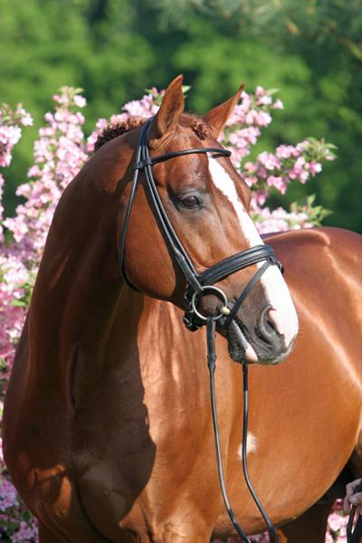 Lot # : 52 - Rosall - 2003 Chestnut Oldenburg Stallion (Rosario x St. Pr. St. Liberty - Akzent II)