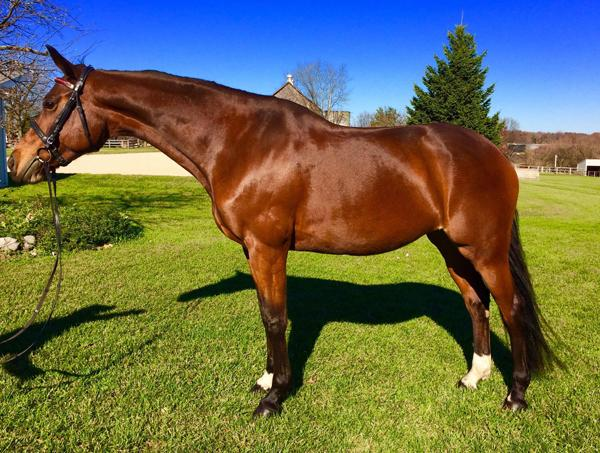 Sasha K - 2008 Warmblood Cross Sport Horse Mare ($30,000 and Under)