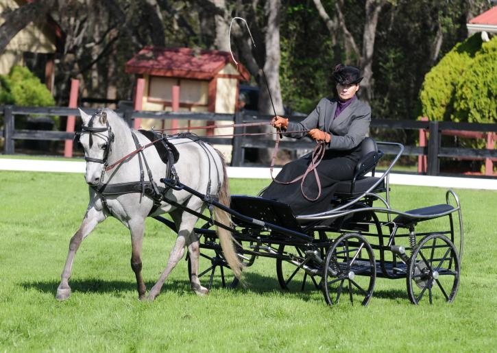 Sharon Young in the dressage ring with her training single pony (Photo: Picsofyou.com)