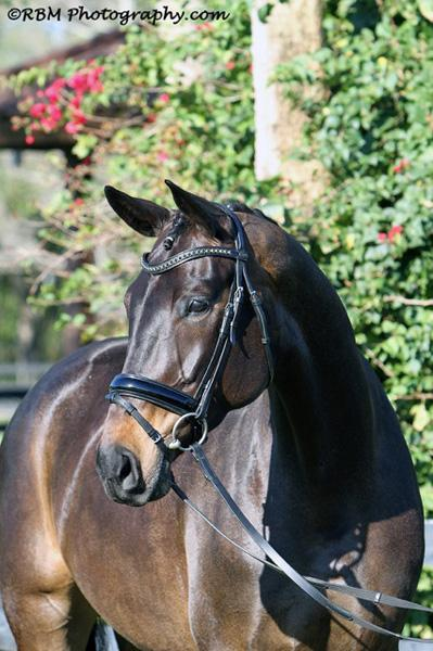 Shyriana - 2010 Oldenburg Mare ($100,000 and Up)