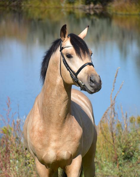 Lot # : 57 - SF Spirit + - Buckskin German Riding Pony Stallion (Smoke Tree Snapdragon x Lelady Katy – Le Mode)